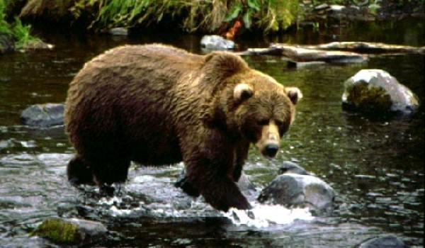 ursul-brun