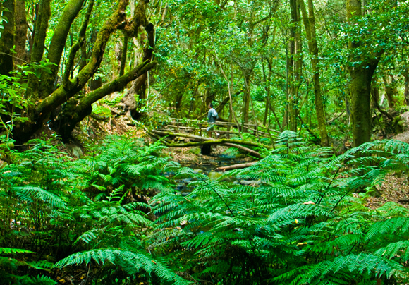 garajonay_national_park_forest_la_gomera