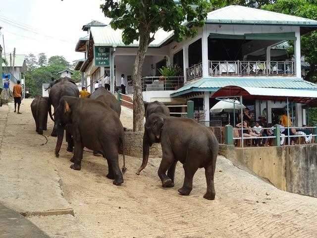 orfelinat-elefanti-sri-lanka (4)