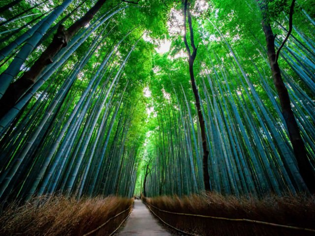 the-sagano-bamboo-forest-located-in-arashiyama-is-a-bamboo-forest-path-that-stretches-over-500-meters-long-the-sound-of-wind-blowing-against-the-plants-has-been-voted-one