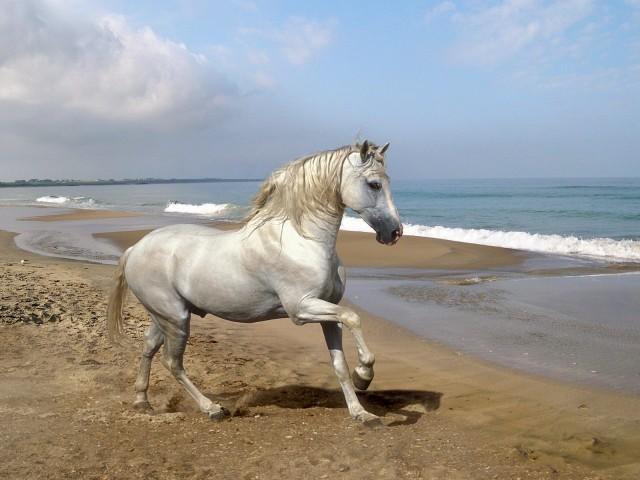 cavallo-andaluso-bianco-sulla-spiaggia