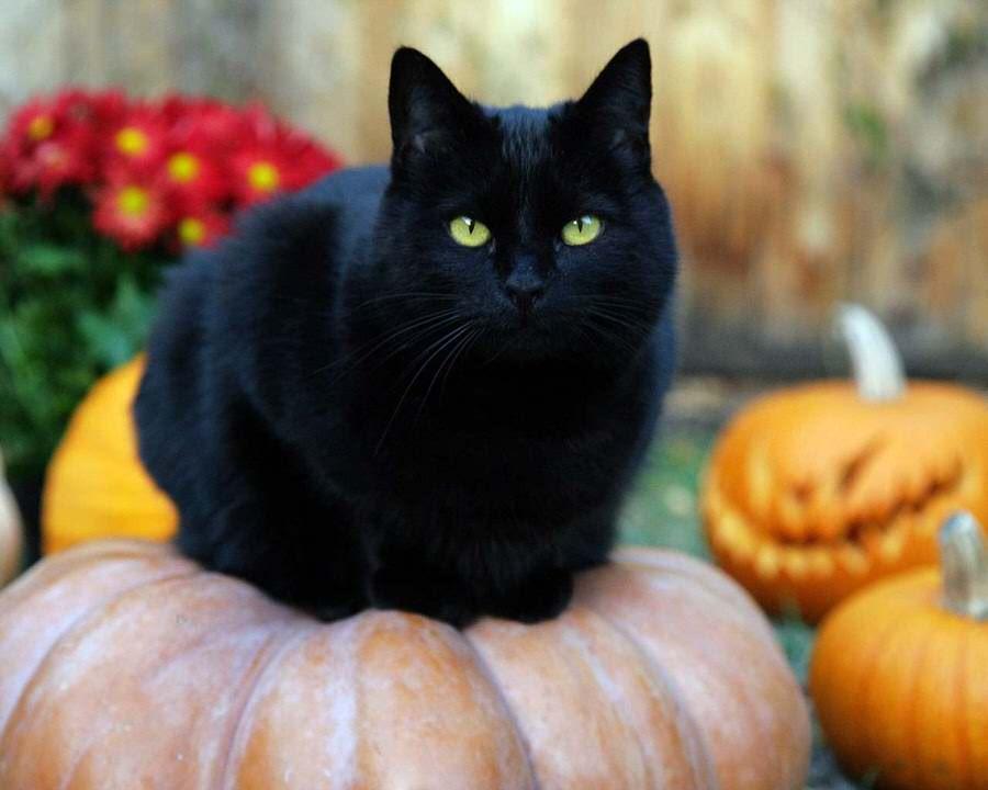 superstitie-pisica-neagra