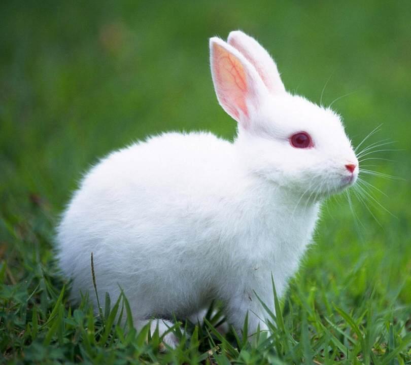 superstitii-iepuri